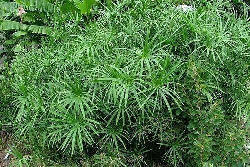 250-seeds-tropical-aquatic-plants-sedge-grass-cyperus-alternifolius-syn-cyperus-involucratus