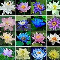 Auntwhale 40 piezas / bolsa de semillas de loto de color