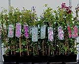 Clematis Kletterpflanzen 40-100cm topfgewachsen, verschiedene Sorten/Farben