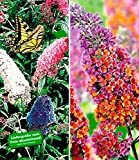 BALDUR-Garten Sommerflieder-Sortiment Buddleia 'Papillion Tricolor' und 'Flower-Power Schmetterlingsflieder Schmetterlingsstrauch Zierstrauch, 2 Pflanzen Buddleja