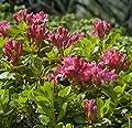 Bewimperte Alpenrose 10-15cm - Rhododendron hirsutum von Baumschulen - Du und dein Garten