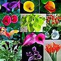 Gemini_mall® Rainbow Chrysanthemum Seeds Beautiful Flower Seeds Garden Ornamental Plants Seeds Bonsai - 20 Seeds