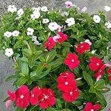 Acecoree Samen Haus 50 Stücke Samen Vinca Rosea Madagaskar Immergrün DIY Hausgarten Bonsai Töpfe Pflanzen