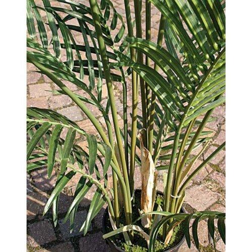 artplants Set 2 x Künstliche Arecapalme im Zementtopf, 25 Wedel, Deluxe, 180cm – Hochwertige Kunstpalme