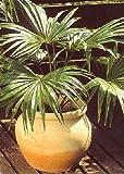 TROPICA - Australische Schirmpalme (Livistonia australis) - 5 Samen
