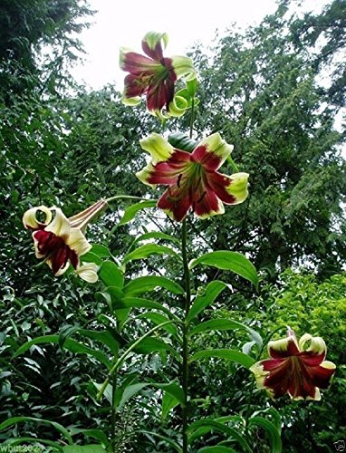 Pinkdose 10 Nepal Lily, LILIUM nepalense, seeds, Greenish-yellow/purple throat, Huge BLOOMS