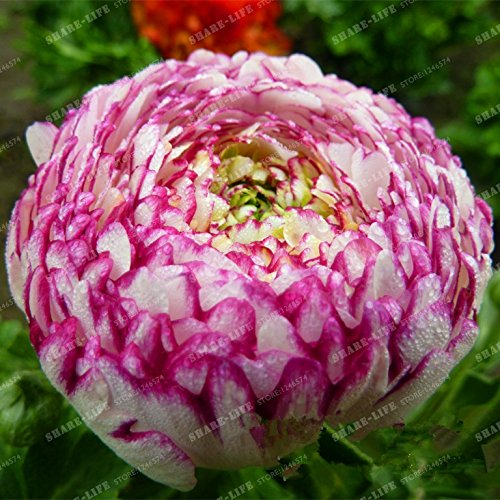 100 PCS rares Ranunculus Asiaticus Graines de fleurs vivaces fleurs Bonsai pour la maison Jardin Bricolage Plantes 100% Graines vrai 20