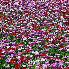Idea Regalo - Bulbi da Fiore ALTA QUALITA' per fioritura PRIMAVERILE (25, Anemone DE CAEN)