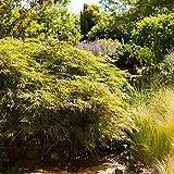 Grüner Schlitzahorn Acer palmatum 'Dissectum' Zier Ahorn Topf gewachsen (10L 80-100cm)