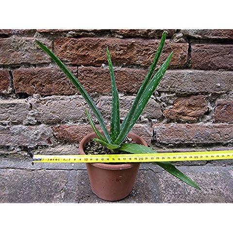 Aloe vera 30 cm, cactus, pianta grassa - Piante Radice Nuda