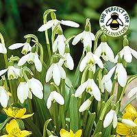 GALANTHUS NIVALIS COMMON SNOWDROP WHITE FLOWERING SPRING GARDEN BULBS (50)