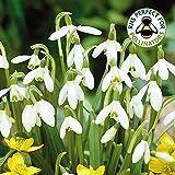 Bulbi bucaneve bianco (Galanthus nivalis)