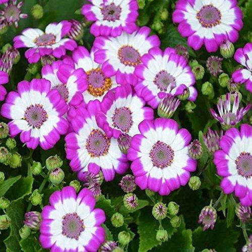 100 couleurs mélangées graines graines de fleurs en pot de plantes graines de cineraria maison de jardin