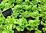 Nuove varietà nutriente gigante cinese sementi di scalogni 100PCS giardino gigante cipolla semi di semi di ortaggi verdura