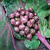 Púrpura de mil cabezas de semillas de col coles de Bruselas col Mini semillas de plantas hortícolas - 50 PC / porción