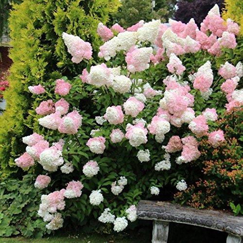 Ultrey Samenshop - 30 Stück Riesen-Rispenhortensie Samen Garten-Hydrangea Saatgut Blumensamen Gartenblumen winterhart mehrjährig für Garten Balkon/Terrasse