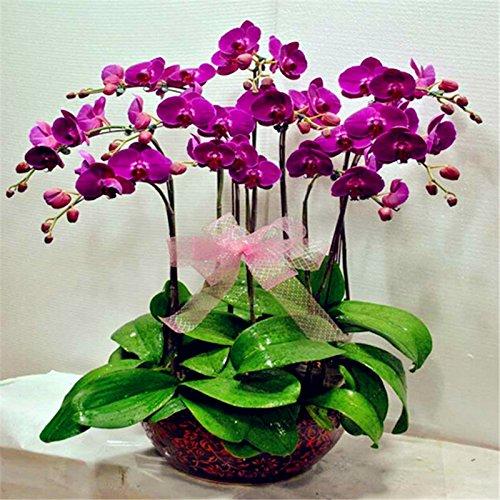 orchidee-phalaenopsis-bonsai-semi-balcone-farfalla-fiore-di-orchidea-per-casa-impianto-100-semi-pacc