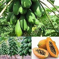 Semillas de papaya - Maradol Papaya Plantas de árboles frutales Semillas orgánicas, Jardín, Balcón, 8 piezas