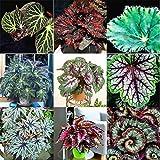 Begonie Multi-Arten Bonsai 50 Samen - Balkon Kräuterbeet Ausführlicher Anzucht