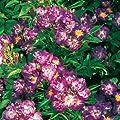 Ramblerrose 'Veilchenblau®' - 1 Pflanze von Garten Schlüter auf Du und dein Garten