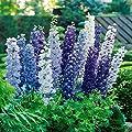 Rittersporn Delphinium Blau x 3 von Meingartenshop - Du und dein Garten