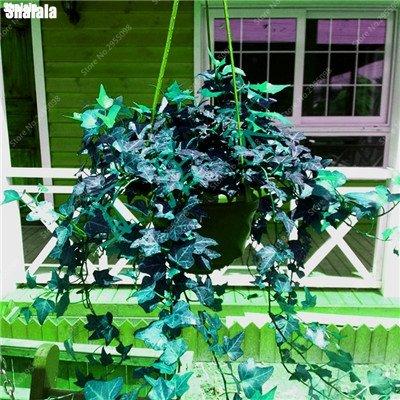 120 pcs / sac Creeper japonais Graines Outdoor Multicolor Escalade Bonsai vigne d'ornement en pot plante facile à cultiver 1