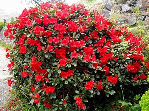 TOMHY Samen-Paket: 9cm SeedRhododendron Baden BadenRed Blumen-Garten Strauchsamen