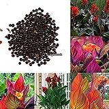 Portal Cool Rot Gelb: 50 Stück Canna Samen Mix Farben Bonsai Blume Topf Samen Garten Decor Rlwh 01