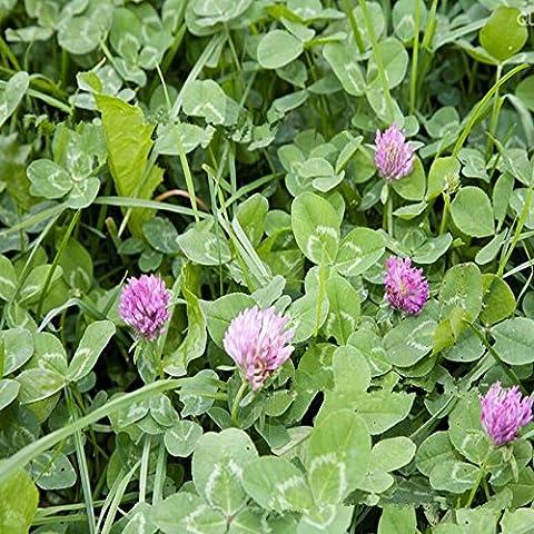 Nuovo arrivo Trifolium repens Red olandese Clover Seeds Four Leaf Clover Semi per la casa pianta giardino di trasporto 50g / pack - Red Fioritura Alberi