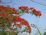 Flammenbaum - Delinox regia - 20 Samen - blühende Exoten