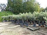 SONDERPREIS: Olivenbaum Olive 140 - 180 cm, beste Qualität, winterhart + robust
