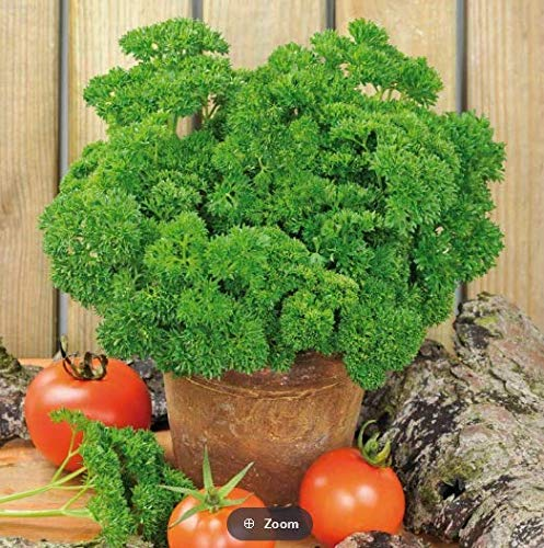 Qulista Samenhaus - 100pcs Raritäten Petersilie 'Mooskrause' Bio Gemüse Samen winterhart mehrjährig
