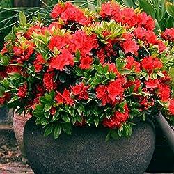 1 X RED AZALEA JAPANESE EVERGREEN SHRUB HARDY GARDEN PLANT IN POT