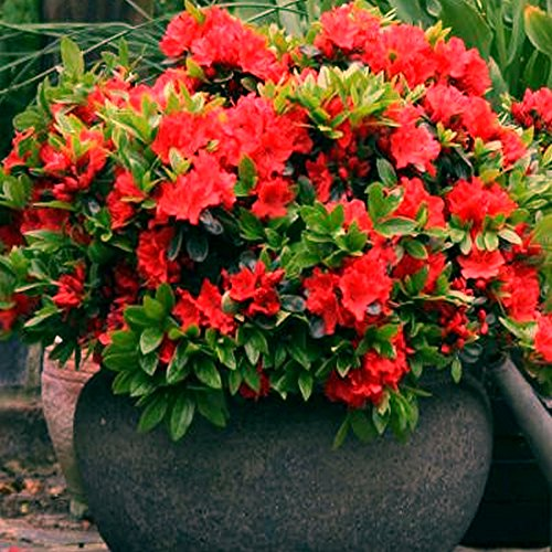 61AiH2kpW9L - NO.1 GARDEN 1 X RED AZALEA JAPANESE EVERGREEN SHRUB HARDY GARDEN PLANT IN POT Best price Review