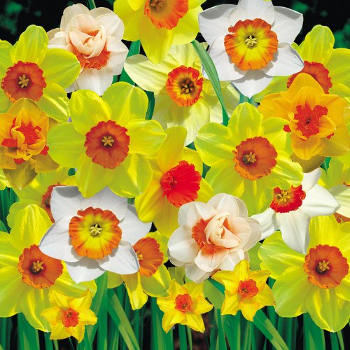 5 x Beautiful Mixed Daffodil Spring Bulbs - Ready to Plant (Free Postage UK)
