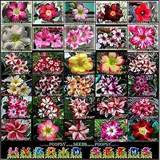 ScoutSeed 2 ARIEL: ADENIUM OBESUM DESERT ROSE 30 PICK HOUSE PLANT BONSAI SEEDS KH3