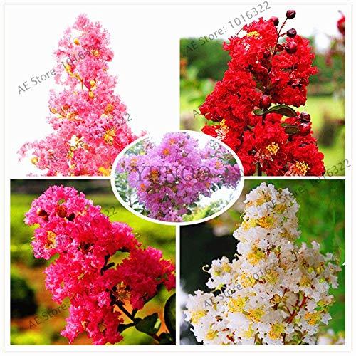 ferry crape mirto albero 101pcs giardino/pacchetto fiori bonsai pianta in vaso rossi per indorr ufficio facile piantare regalo migliore: mix