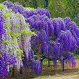 Keland Garten - 10 Glyzinie/Chinesischer Blauregen (Wisteria) Samen Blütenmeer winterhart mehrjährig (Violett 2)