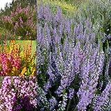 Portal Cool 3 X Mixtos brezos Calluna y Erica Variedades Plantas con Flores Grandes Coloridas