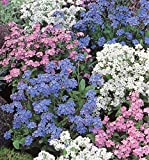 FORGET ME NOT - MYOSOTIS ALPESTRIS - MIXED 1GM ~ 1600 SEEDS