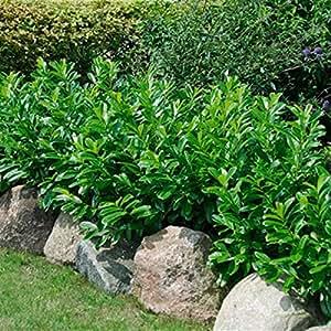 dominik blumen und pflanzen kirschlorbeerhecke novita 12 pflanzen topfgewachsen. Black Bedroom Furniture Sets. Home Design Ideas