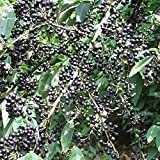 Schwarzer Pfeffer Bergpfeffer 20 Samen - Verschiedene Sorten Gesund Anzuchtanleitung Natürliche