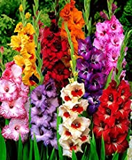 Gate Garden Gladiolus Mixed Colour Flower Bulb (40 Bulbs)
