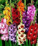 Gate Garden Gladiolus Mixed Colour Flower Bulb (40 Bulbs)