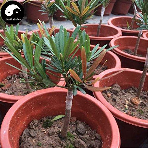 Kaufen großblättrige steineibe Baumsamen 30pcs Pflanze Podocarpus Baum Luo Han Song