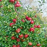 Apfel Topaz, Busch, 1 Pflanze