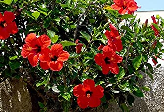 MG Naturals Gurhal/ Hibiscus/Chembaruthi Flower -Live Plant with Pot (Red)
