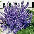 Lavendelblaue Katzenminze (Nepeta faassenii) - 5 Stück von Garten Schlüter bei Du und dein Garten