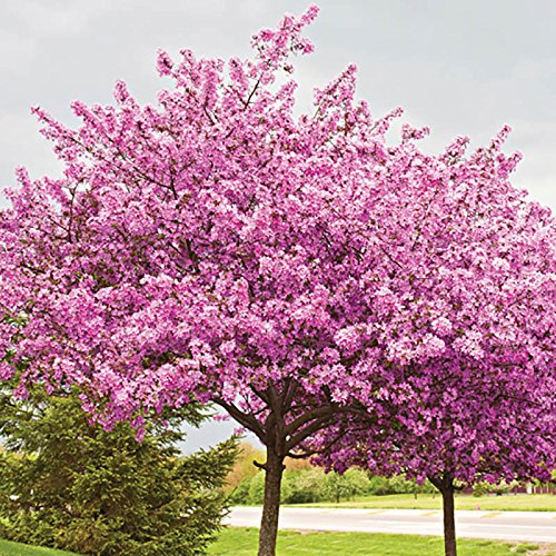 ornamental-chinese-redbud-cercis-chinensis-avondale-tree-in-a-9cm-pot