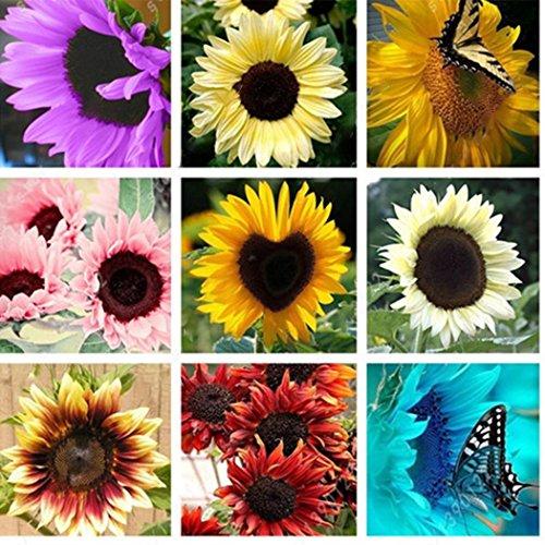 Ultrey Samenshop - 50 Stück Riesen Sonnenblumen Samen Bunte Balkon-Blumensamen Herbstzauber Sichtschutz Zierpflanzen für Garten Balkon/Terrasse